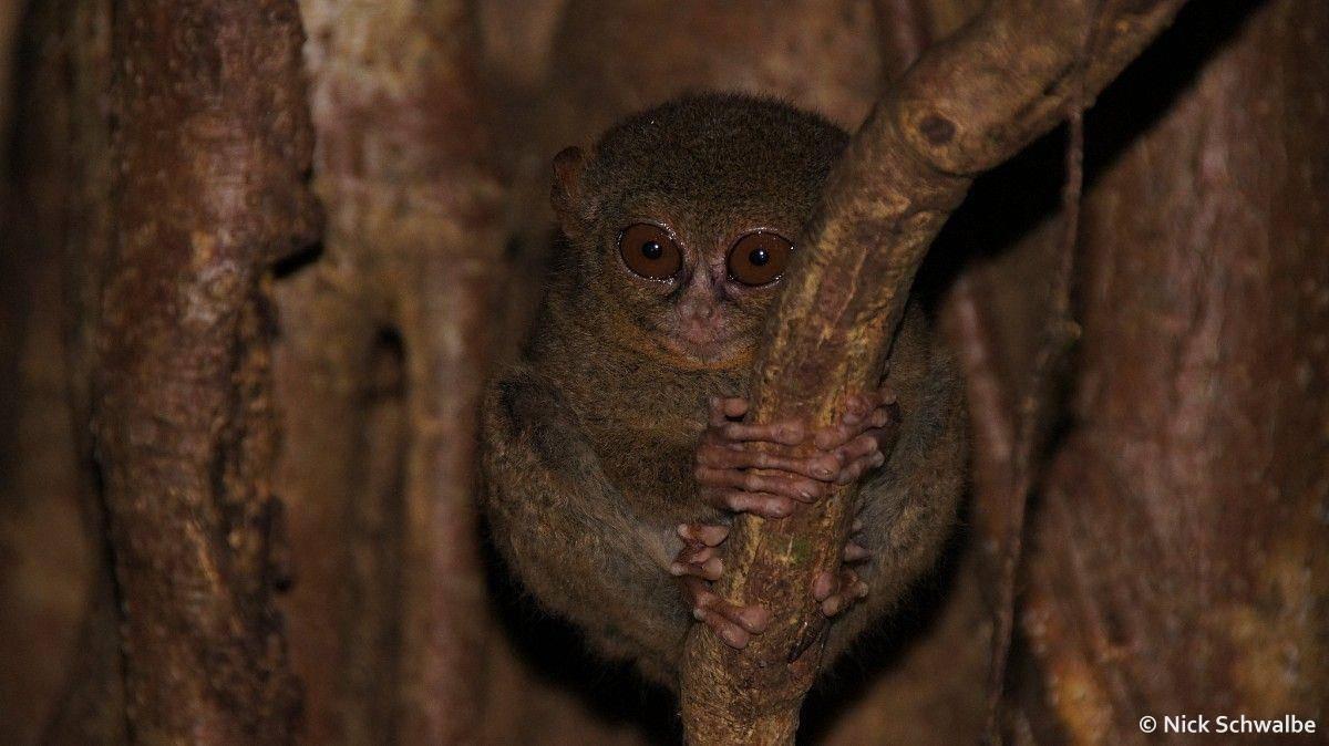 Tarsier, Tangkoko Nature Reserve